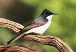 The Restless Flycatcher is among the bird species currently under threat in the Mt Lofty region Photo by Lynn Pedler