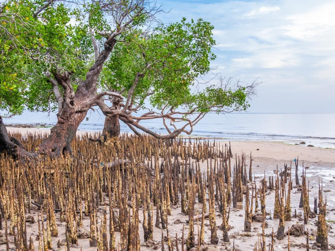 Mangrove tree with exposed roots at low tide