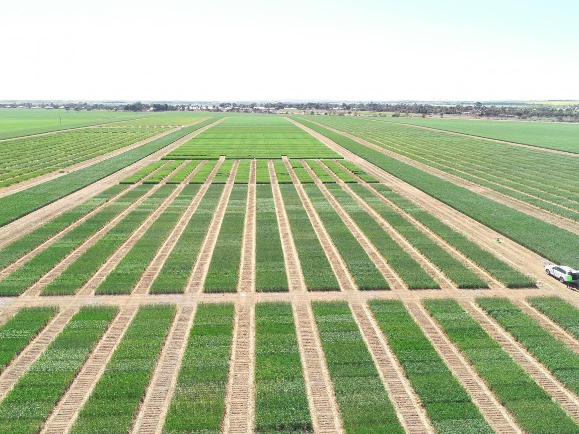 View of wheat trial crops capture from drone