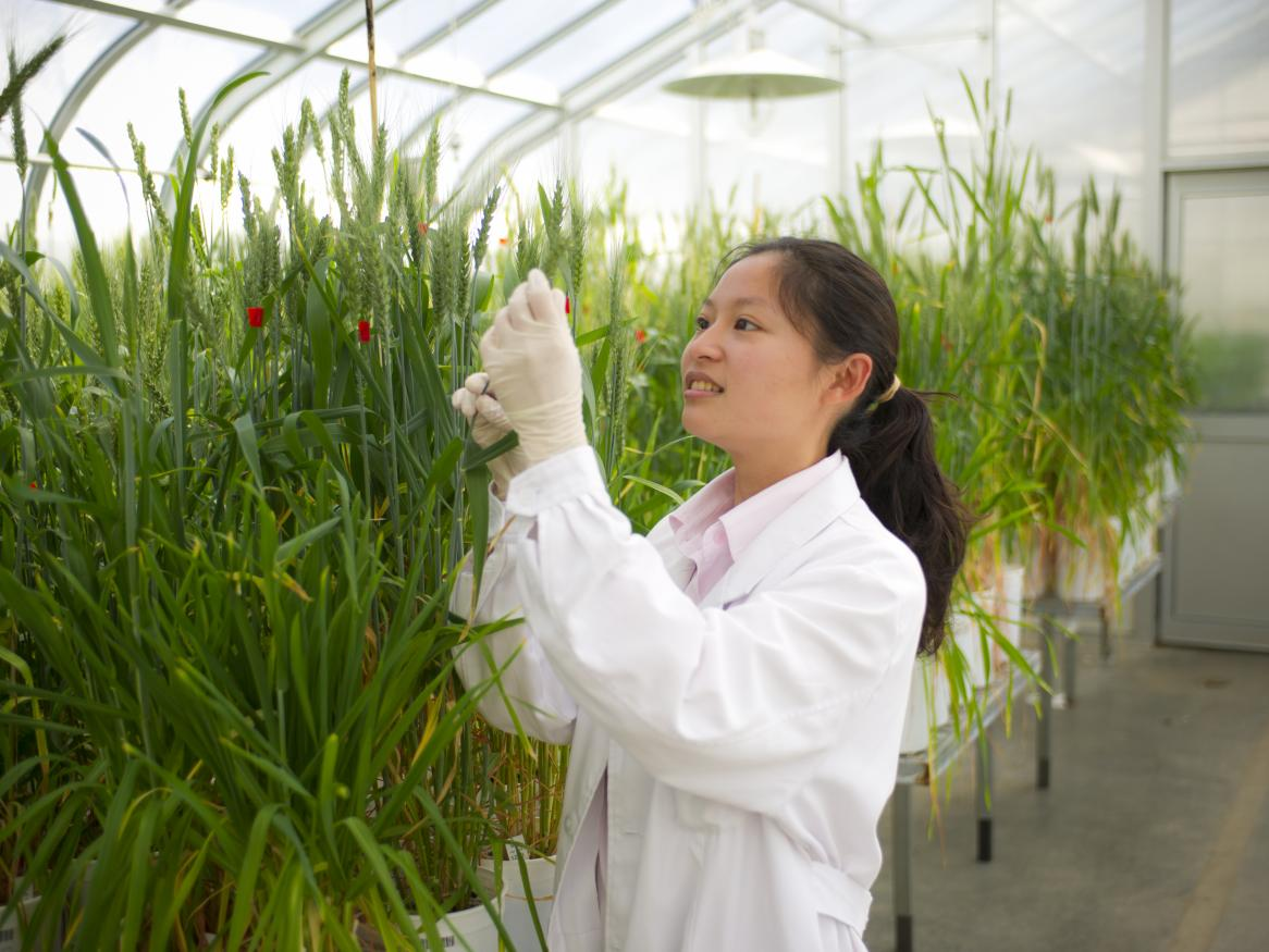 Researcher looking at crop