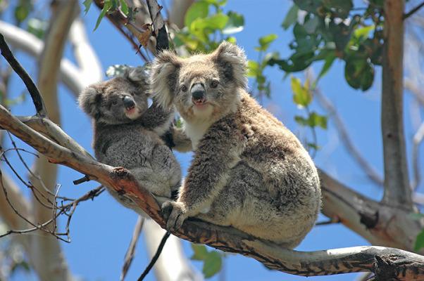 Image result for free koala photo