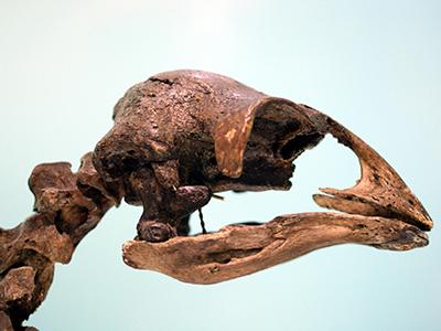 Moa Skull