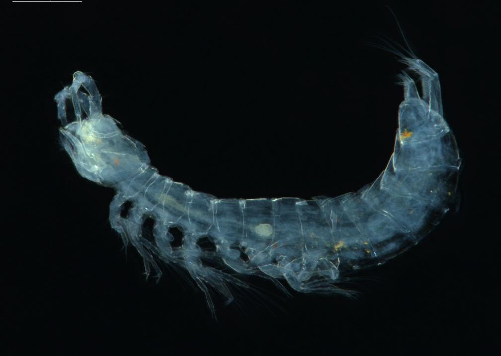 a subterranean crustacea