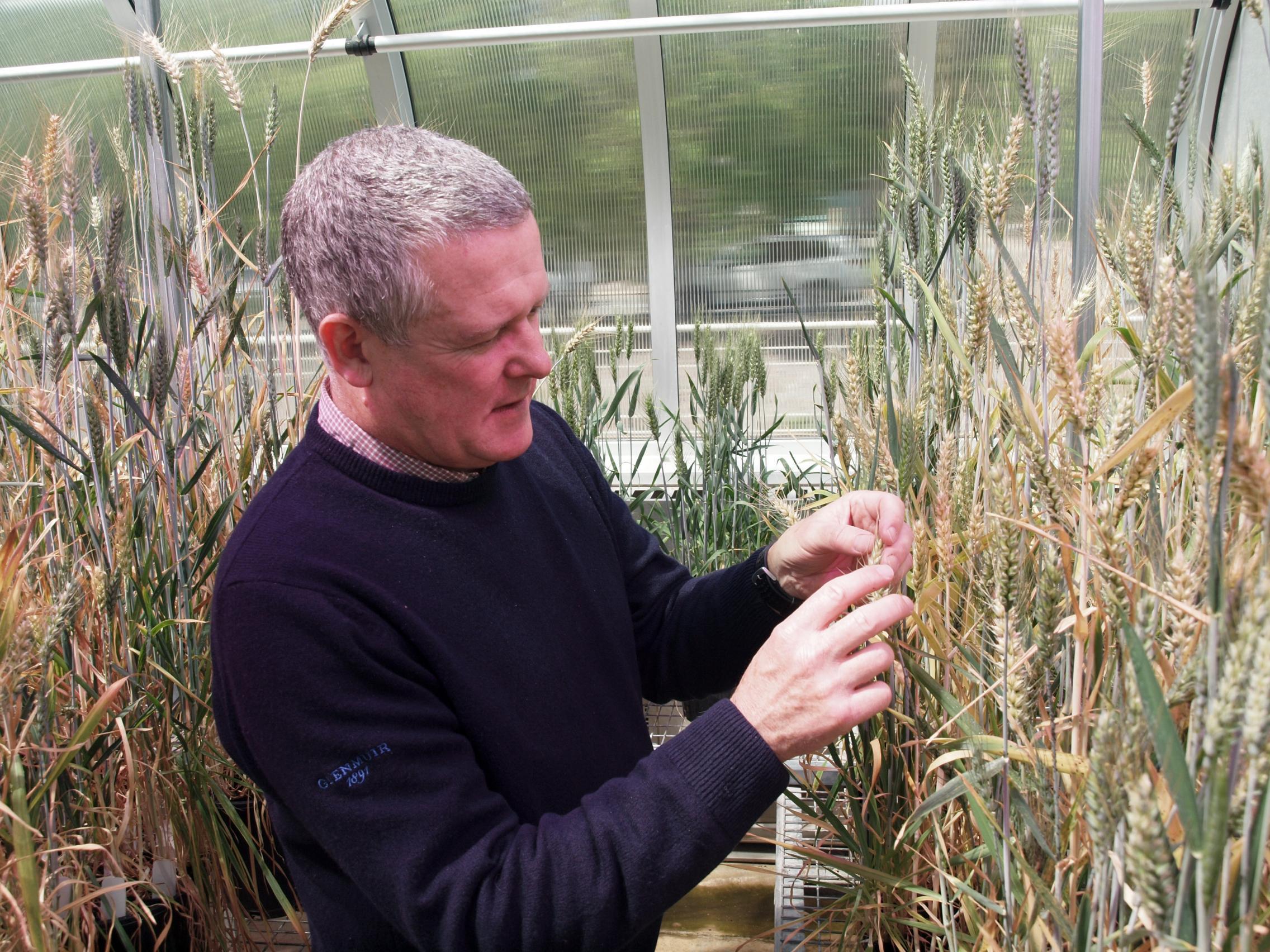 Associate Professor Ken Chalmers inspecting wheat grain