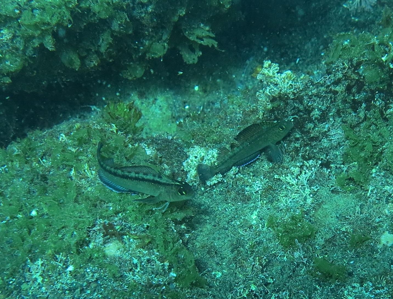 Triplefin fish near underwater vent