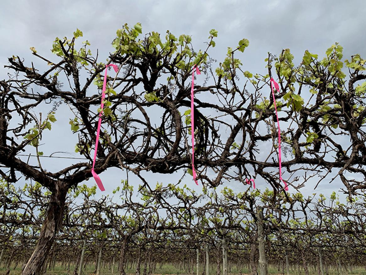 Vines with pink ribbons attached