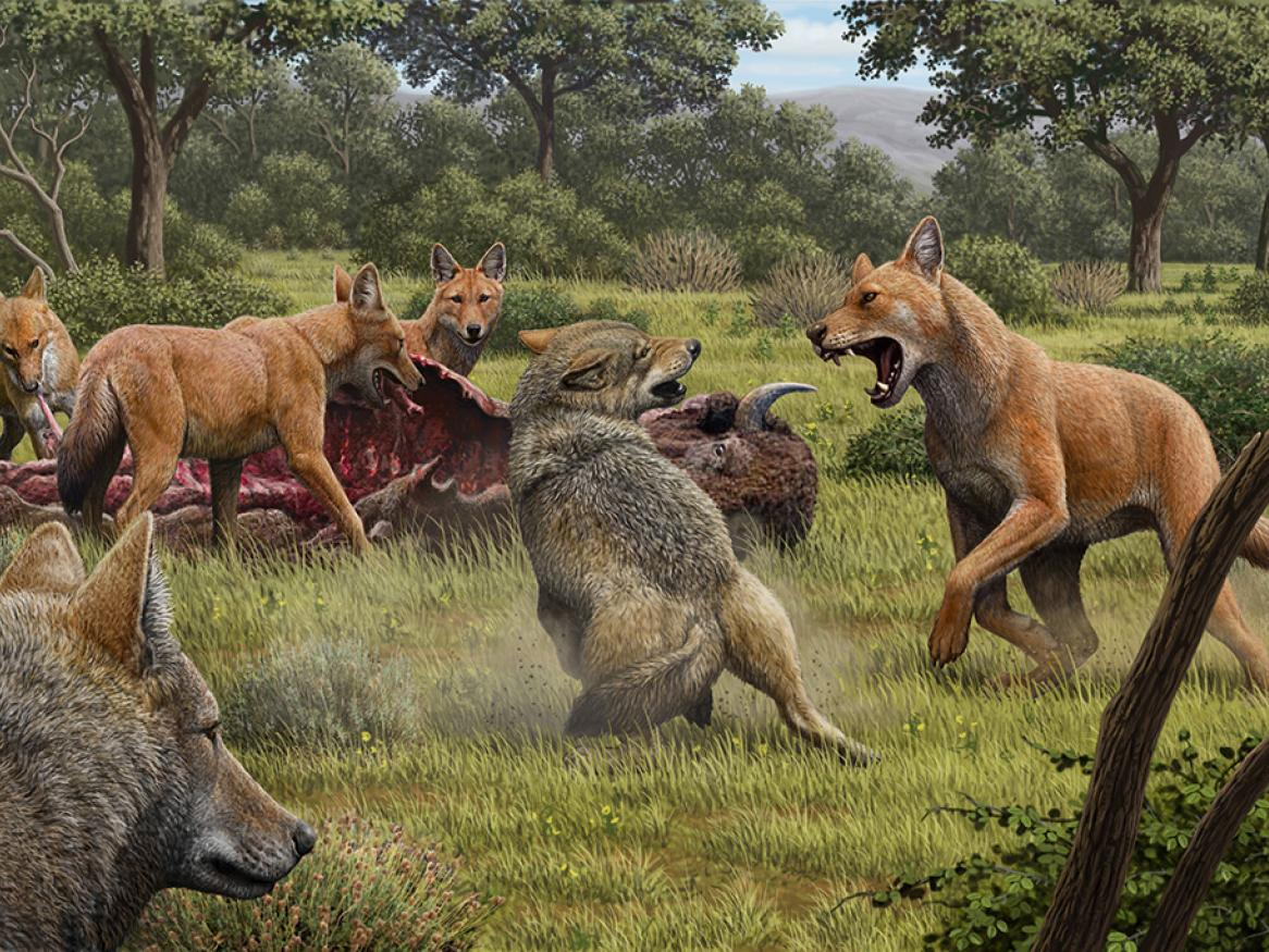 An artists impression of dire wolves feeding on a bison and fending off grey wolves