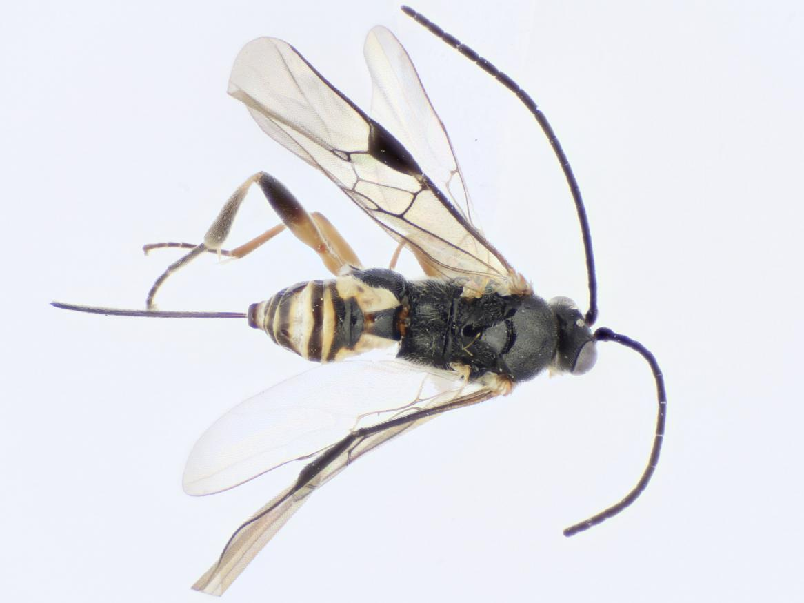 One of the four new wasp species discovered and named, Choeras ramcomamorata