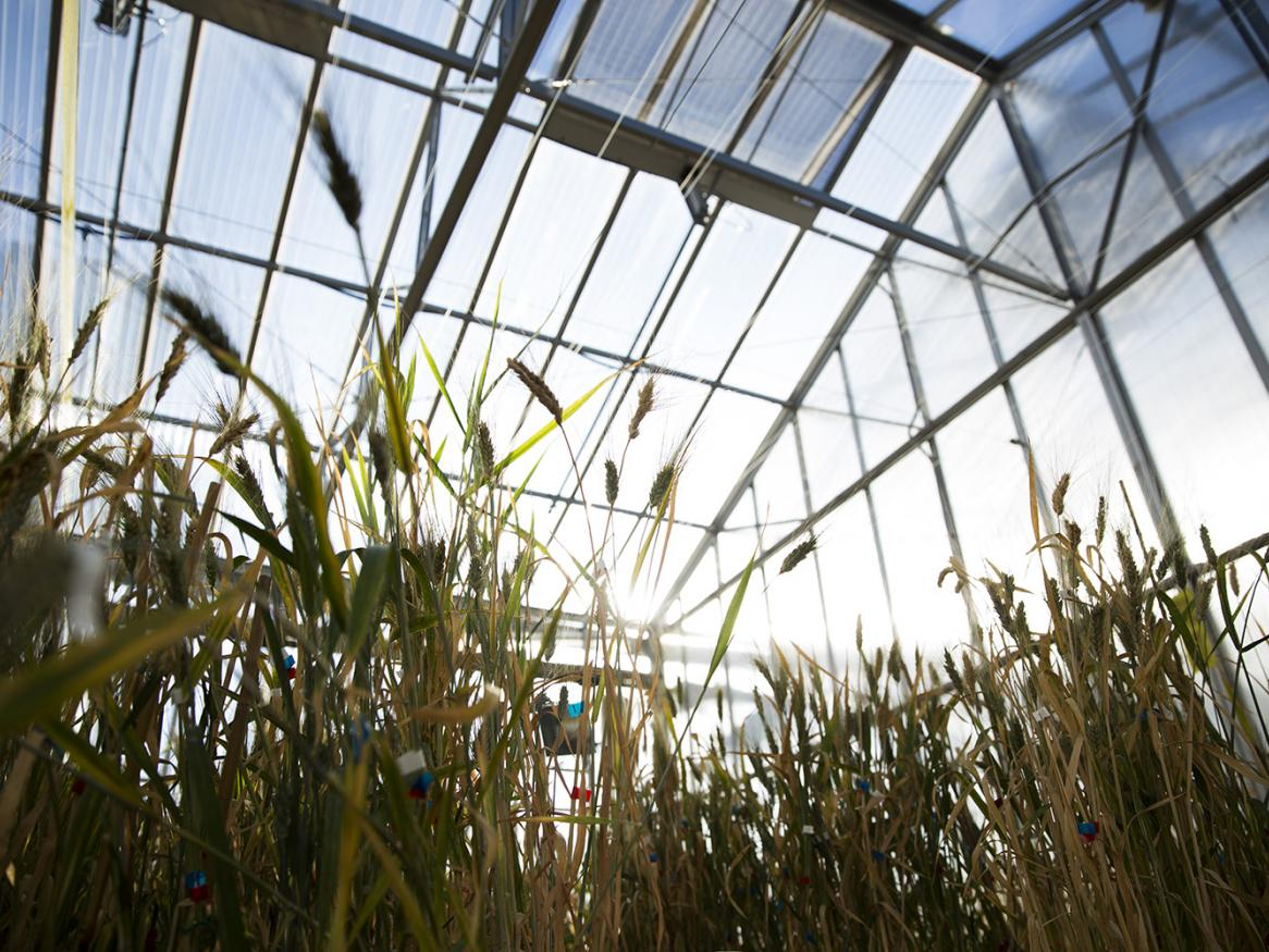 wheat in glasshouse