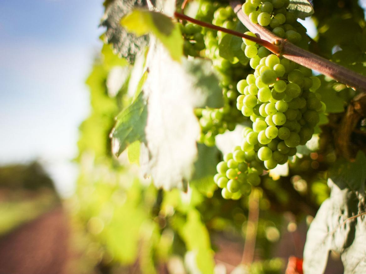 White wine crops in daylight