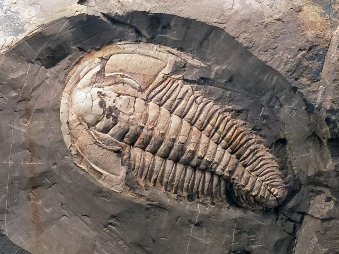 A giant species of trilobite inhabited Australian waters half a billion years ago