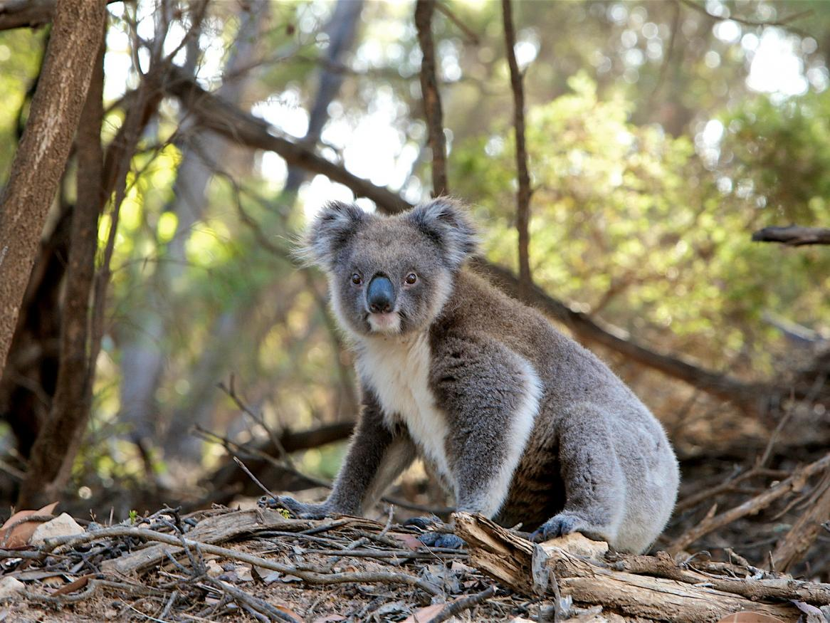 Understanding the true impact of bushfires on our Koala population