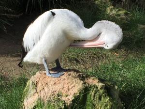 pelican preening image