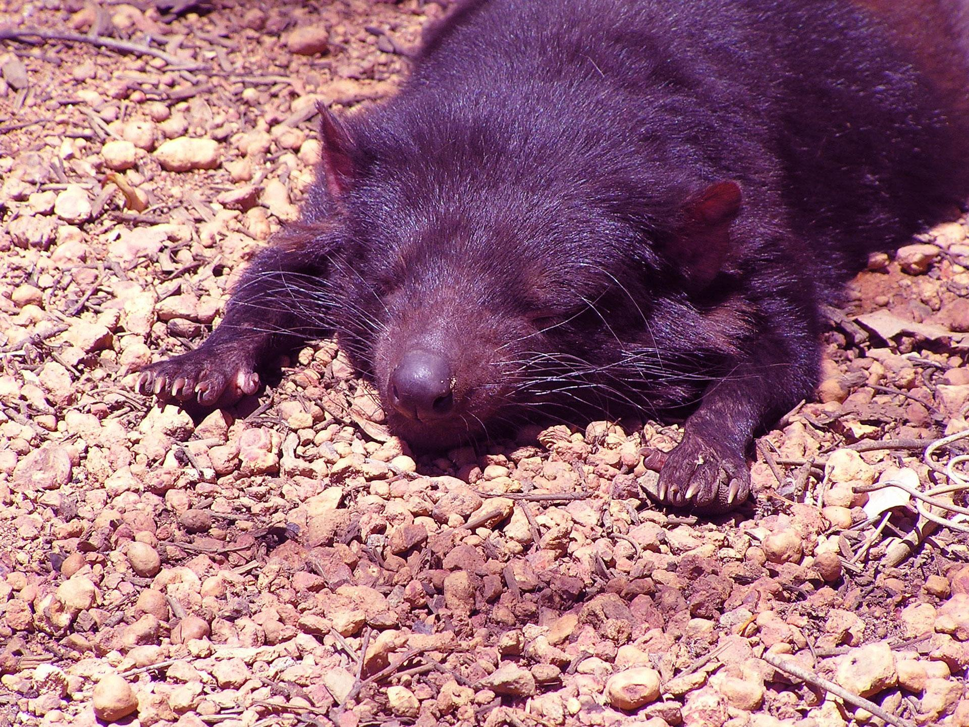 tassie devil relaxing graphic - links to 'meditation' page