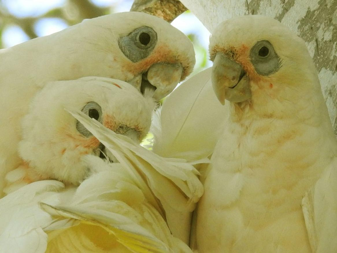 corella family image - links to relationship page