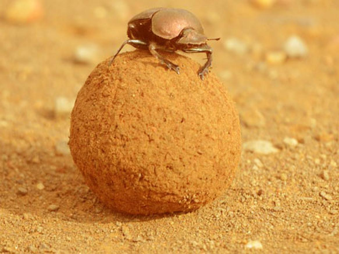 dung beetle image - links to 'support at uni' page