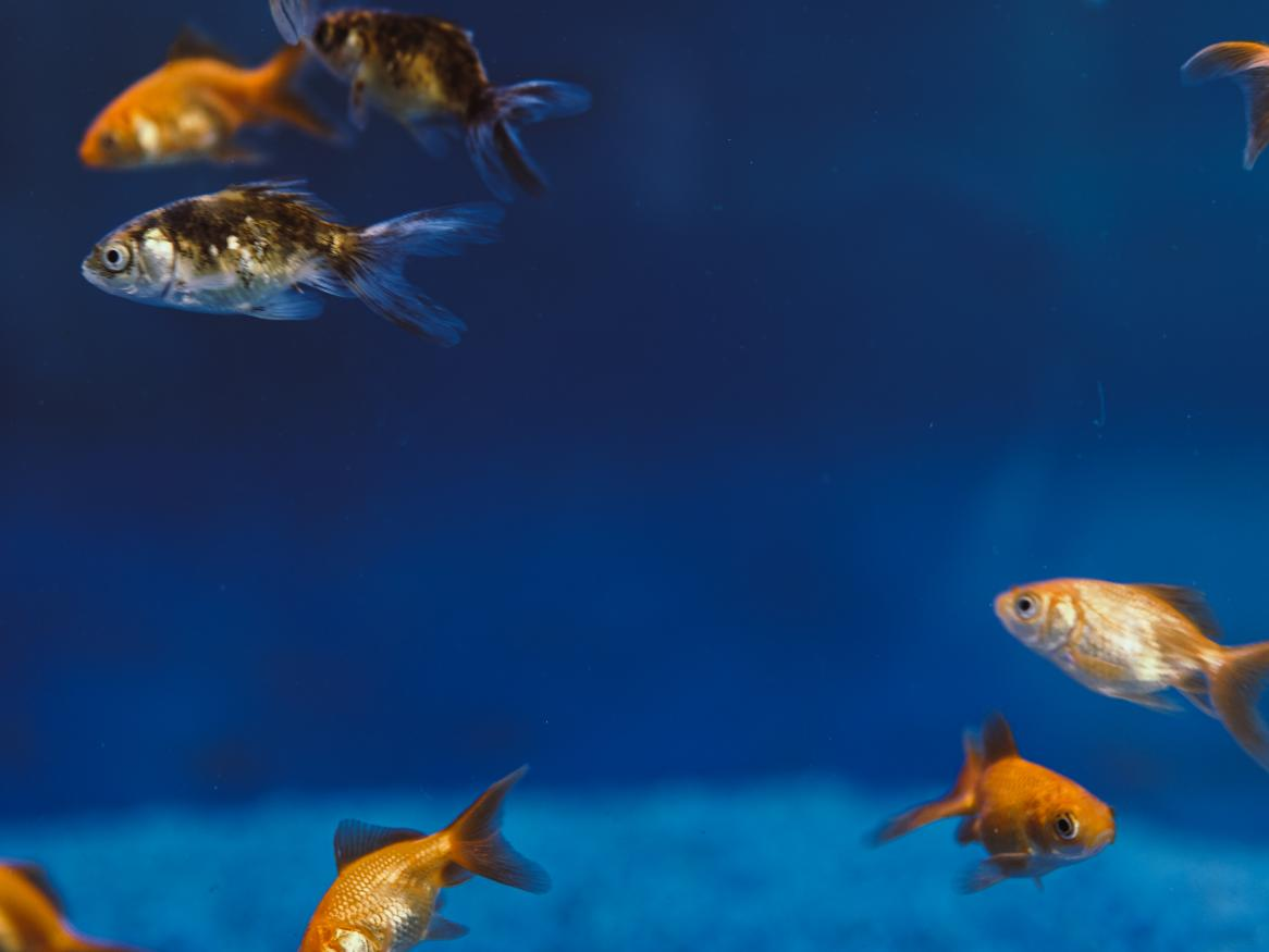 goldfish in blue water